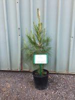 Pinus-patula-Mexican-Pine-20cm