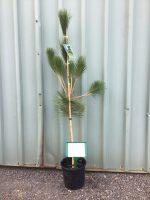 Pinus-thunbergii-japanese-Black-Pine-20cm-768x1024