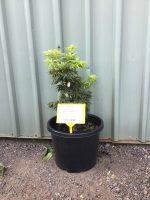 Acer-palmatum-Mikawa-Yatsabusa-30-33cm