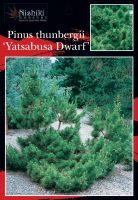Pinus-thunbergii-Yatsabusa-dwarf-Black-Pine-1