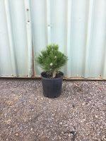 Pinus-thunbergii-Yatsabusa-dwarf-Black-Pine-20cm