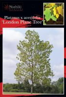 Platanus-London-Plane-Tree-1