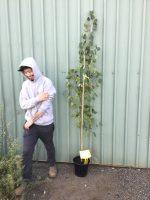 Populus-nigra-italica-Lombardy-Poplar-25cm