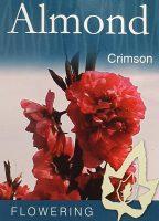 Prunus-amygdalus-purpurea-Crimson-Almond-1
