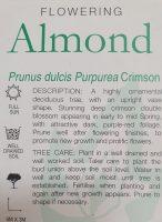 Prunus-amygdalus-purpurea-Crimson-Almond-2