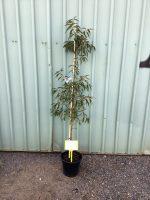 Prunus-amygdalus-purpurea-Crimson-Almond-25cm-768x1024