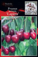 Prunus-avium-Lapins-Cherry-1