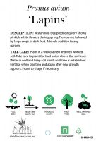 Prunus-avium-Lapins-Cherry-2
