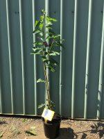 Prunus-avium-Lapins-Cherry-25cm