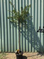Prunus-Okame-Flowering-Cherry-1.8m-Standard-40cm