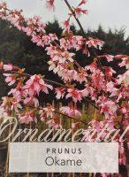 Prunus-Okame-Flowering-Cherry-1