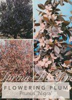 Prunus-cerasifera-nigra-Purple-Leaf-Flowering-Plum-1