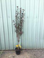 Prunus-cerasifera-nigra-Purple-Leaf-Flowering-Plum-25cm