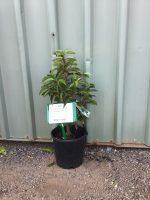 Prunus-lusitanica-Portugese-Laurel-20cm