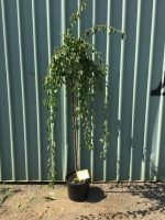 Prunus-mume-pendula-Weeping-Apricot-1.8m-Standard-30-33cm-768x1024