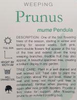 Prunus-mume-pendula-Weeping-Apricot-2