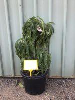 Prunus-persica-Dwarf-Fruiting-Peach-30-33cm-768x1024