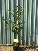 Prunus-Elvins-25cm-768x1024