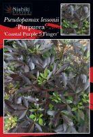 Pseudopamax-lessonii-purpurea-1