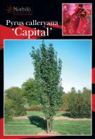 Pyrus-calleryana-Capital-Pear-1