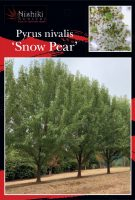 Pyrus-nivalis-Snow-Pear-1