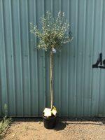 Pyrus-salicifolia-Weeping-Silver-Pear-1.8m-Standard-30-33cm-768x1024