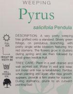 Pyrus-salicifolia-Weeping-Silver-Pear-2
