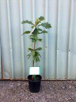 Quercus-accutisima-Sawtooth-Oak-20cm-768x1024