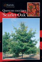 quercus-coccinea-scarlet-oak-1