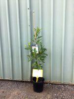 Quercus-palustris-Pin-Oak-20cm-768x1024