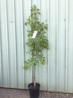 Quercus-palustris-Pin-Oak-25cm