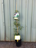 Quercus-robur-fastigiata-Upright-English-Oak-20cm-768x1024
