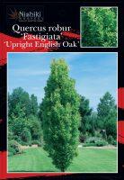 quercus-robur-fastigiata-upright-english-oak-1