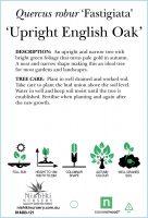 quercus-robur-fastigiata-upright-english-oak-2