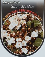 Rhaphiolepsis-indica-Snow-Maiden-1