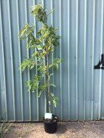 Robinia-pseudoacacia-Frisia-30-33cm
