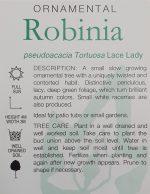 Robinia-pseudoacacia-Lace-Lady-2