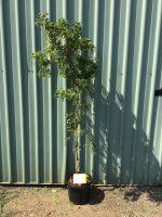 Robinia-pseudoacacia-Lace-Lady-30-33cm-768x1024