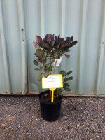 Cotinus-coggygria-Royal-Purple-20cm-768x1024