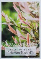 Salix-integra-Hakuro-Variegated-Willow-1