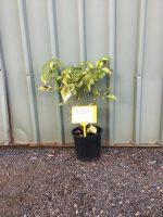 sambucus-canadensis-aurea-Golden-Elder-20cm-768x1024