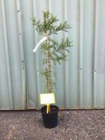 Taxodium-distichum-Bald-cypress-20cm-768x1024