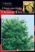 Ulmus-parvifolia-Chinese-Elm-1