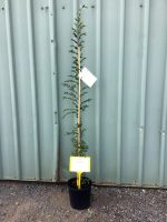 Ulmus-parvifolia-Chinese-Elm-20cm-768x1024