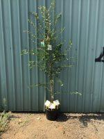 Ulmus-parvifolia-Chinese-Elm-30-33cm