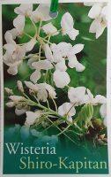 wisteria-brachybotris-shiro-kapitan-1