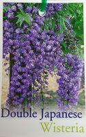 wisteria-floribunda-violacea-plena-1